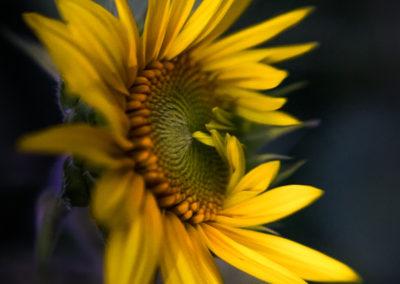 The Bashful Sunflower