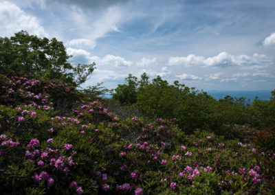 Rhododendron Scene - Craggy Pinnacle